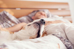 Close up image beagle snout in his owner bed Royalty Free Stock Photo