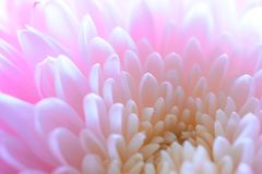 Close Up Image of the Beautiful Pink Chrysanthemum Flower Stock Photography