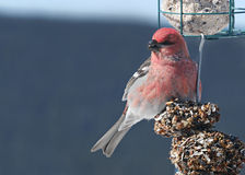 Close-up image of beautiful red pine grosbeak on feeder Stock Image