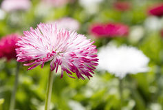 Close up image of Bellis perennis Stock Photos