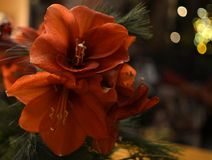 Bouquet of red St. Joseph`s lilies royalty free stock photo