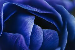Close up image of bright blue anemone. Flower stock photography