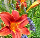 Red Orange Hemerocallis Lily with Lavendar Lavandula Square. This is a close up image of a bright Red Orange Day Lily, its colorful petals glowing in the noonday stock photography