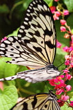 Close up image of a butterfly.  Stock Images