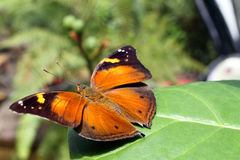 Close up image of a butterfly.  Stock Image