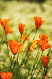 Close up image of California poppy flowers in landscape Royalty Free Stock Photos