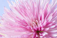 Close up image of chrysanthemum Royalty Free Stock Photography