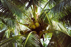 A close-up image of coconuts hanging on a palm tree. Arranged by leafs at daylight Stock Images