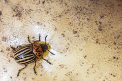 A close up image of the striped Colorado potato beetle that crawls on potatoes and green leaves and eats them. A close up image of the Colorado potato beetle royalty free stock images