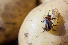 A close up image of the striped Colorado potato beetle that crawls on potatoes and green leaves and eats them. A close up image of the Colorado potato beetle royalty free stock photos