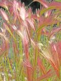 Foxtail barley Royalty Free Stock Photography