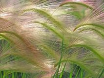 Foxtail barley Stock Image