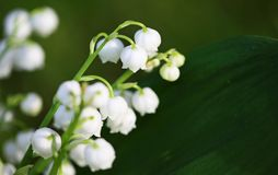 Convallaria on dark background. Close up image with convallaria flowers Royalty Free Stock Photography