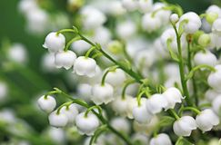White Convallaria. Close up image with convallaria flowers Royalty Free Stock Photography