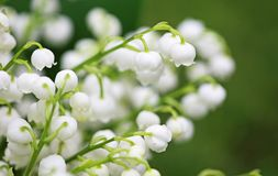 White Convallaria close up. Close up image with convallaria flowers Stock Images