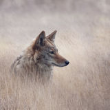 Close Up image of Coyote. In a grassland Royalty Free Stock Photography