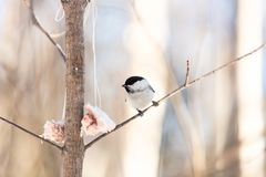 Cute and funny marsh tit bird sitting on the branch and pecking lard in the winter forest on sunny day. Close-up Image of cute marsh tit bird sitting on the stock photos
