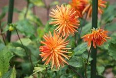 Three orange dahlia Royalty Free Stock Photography