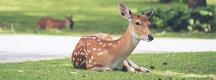 Close up image of deer sitting on grass yard. In a park Royalty Free Stock Photography