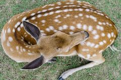 Close up image of deer sitting on grass yard in a park Royalty Free Stock Photos