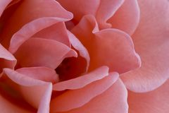 Close up delicate pink rose Royalty Free Stock Image