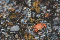 Close-up Image of dry dead red crab on the pebble beach Royalty Free Stock Photography