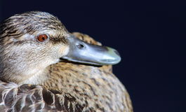 Close up image of a Duck Stock Images