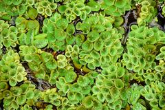 Salvinia natans texture close-up stock image