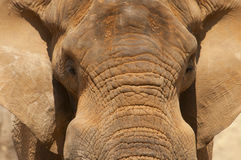 Close up image of an elephant head and ears. Stock Photos