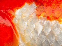 Close up image of fish scale. Fish scale macro for background Royalty Free Stock Images