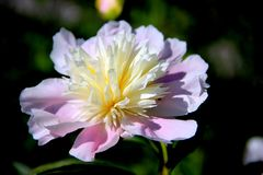 An amazing flower with colorful petals royalty free stock images