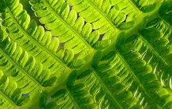 Close-up Image of Fresh Green Fern Leaf. Natural Background. Stock Photo