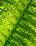 Close-up Image of Fresh Green Fern Leaf. Natural Background. Stock Images