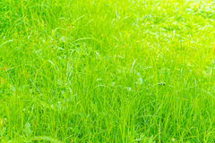 Close-up image of fresh spring green grass . Royalty Free Stock Image