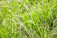Close-up image of fresh spring green grass. Green grass photo background or texture. Stock Photo
