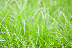 Close-up image of fresh spring green grass. Green grass photo background or texture. Royalty Free Stock Photos
