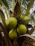 A close-up image of fresh young coconuts with green leaves and day time background. Stock Photography