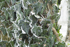 Close-up image of frost covered vine leaves covering a tree. Stock Photos