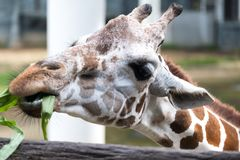 Close up image of a giraffe eating grasses Stock Photo