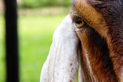 Close up image of goat face Royalty Free Stock Photo