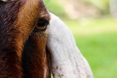 Close up image of goat face Stock Image