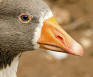 Close up image of a goose head. stock photos
