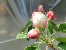 Granny Smith Malus sylvestris Apple Blossom Under Plastic Tent. This is a close-up image of Granny Smith Malus Sylvestris type Apple Blossoms in the cold morning Stock Photography