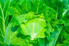 Close-up image of the green cabbages in a vegetable garden. royalty free stock photography