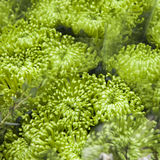 Close up image of green chrysanthemum Royalty Free Stock Image