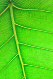 Close up image of green leaf Royalty Free Stock Photos