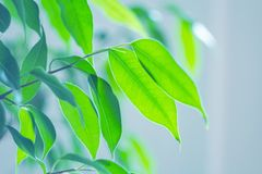 Beautiful green leaves in backlight with soft focus. Close-up image of a green leaf of a natural plant, with selective focus, copy space and backlighting in a stock images