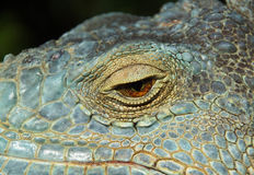 A close-up image of a green lizard Royalty Free Stock Photo