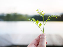 Close-up image of a human's hand holding baby Leaves with blur background Royalty Free Stock Photo