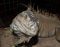 Close up image of a Iguana Stock Photography